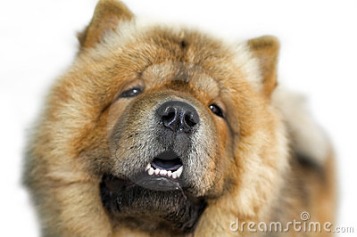 Dog breed Chow-chow , portrait close-up