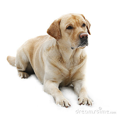 Dog Breed Labrador Retriever isolated in white bac
