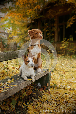 Free Dog Breed Nova Scotia Duck Tolling Retriever And Jack Russell Terrier Stock Photo - 60467130