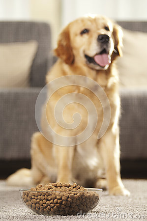dog can 39 t wait to eat his food royalty free stock