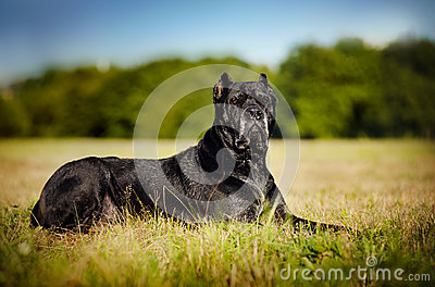 Dog Cane Corso lying on the field