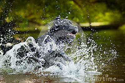 Dog Cane Corso run in the water