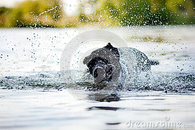 Dog Cane Corso shakes off water
