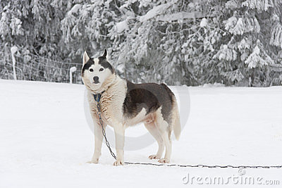 Alaskan malamute dog in chain at winter