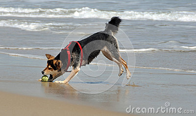 Dog chasing ball on the beach