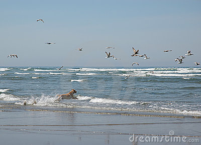 A dog chasing seagulls at the beach
