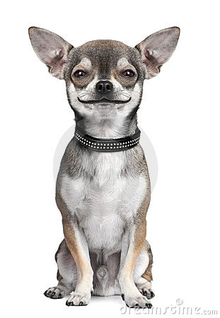 Free Dog ( Chihuahua ) Looking At The Camera, Smiling Royalty Free Stock Images - 10049879