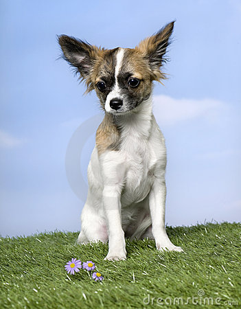 Dog : chihuahua puppy , sitting (4 months old)
