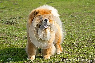 Dog chow chow