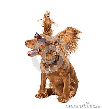 Free Dog Cocker In Sunglasses Stock Image - 24773451