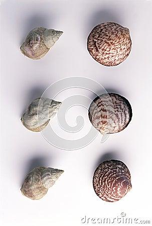 Dog cockle shellfish and Buccins ondes whelks