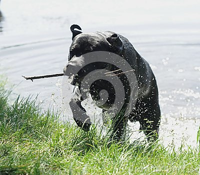 Dog coming out of the water