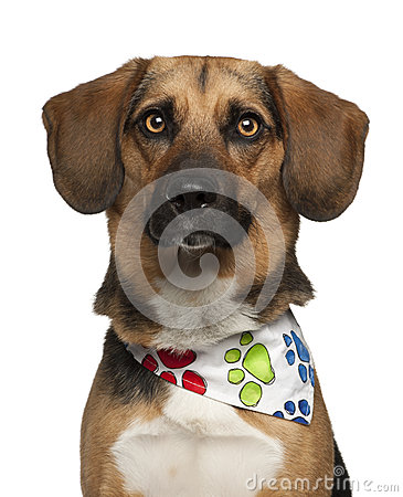 Dog, cross breed with a beagle, 2 years old