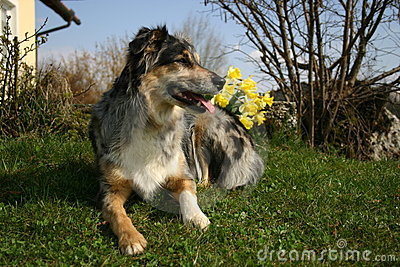 Dog with daffodils