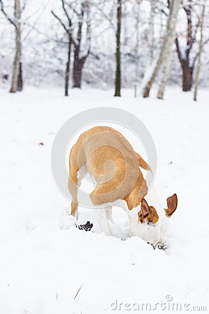 Dog digging in the snow