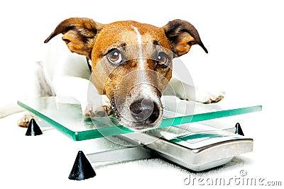 Dog on digital scale