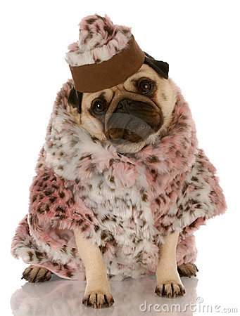 Wolf Fur Coat >> Dog Dressed In Fur Coat And Hat Stock Images - Image: 10980114