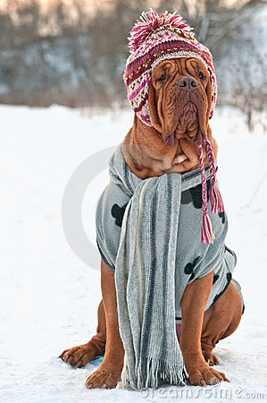 Dog dressed with hat,scarf,sweater sitting on snow