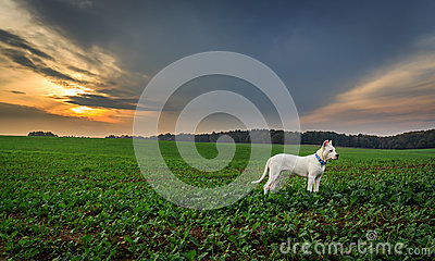 Dog on the field at sunset