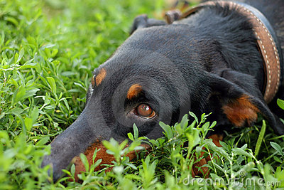 Dog gaze