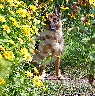 Dog, German shepherd in flowers