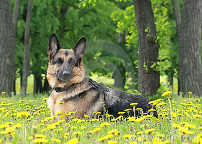 Dog,  German shepherd lies in dandelions