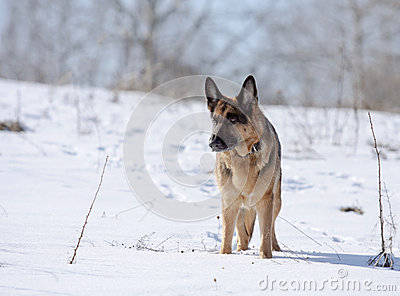 Dog, German shepherd on a snow-covered slope