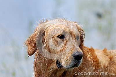 Dog-Golden Retriever