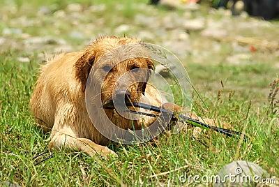 Dog-Golden Retriever