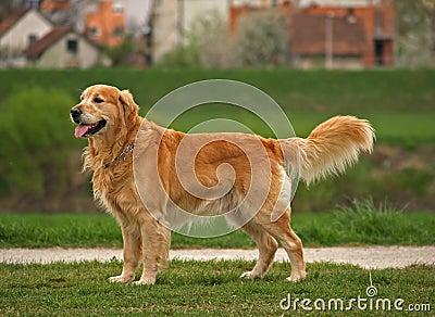 Dog / Golden Retriever