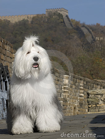 Dog in great wall