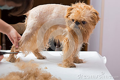 Dog Grooming Royalty Free Stock Images Image 34749619