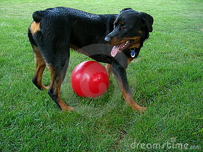 Dog Guarding over Big Ball