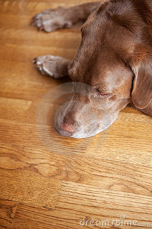 Dog on hardwood floor