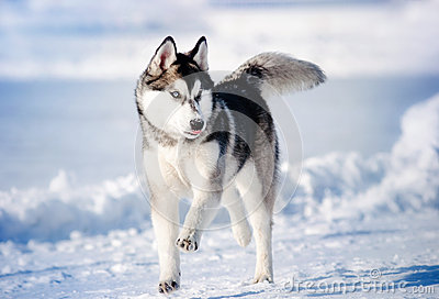 Dog hasky running in winter