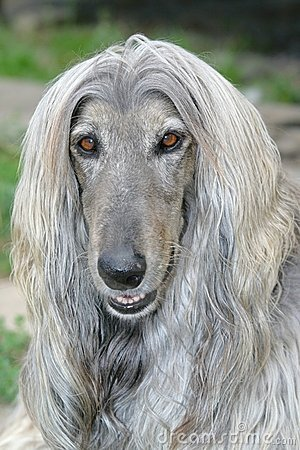 Free Dog Head Of Afghan Hound Royalty Free Stock Photography - 6311237