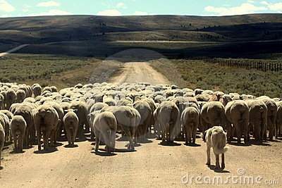 Dog Herding Sheep