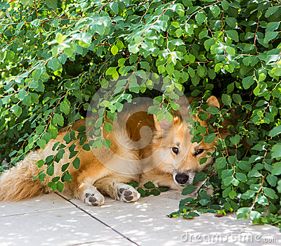 Dog is hiding from the sun
