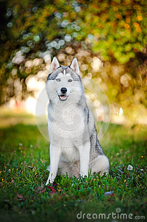 Dog husky sits and looks at the camera