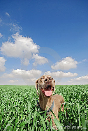 Free Dog In Field Royalty Free Stock Photography - 8114107
