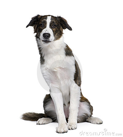Free Dog In Front Of White Background Stock Photography - 11291472
