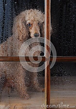 Free Dog In Rain Soaked Window Royalty Free Stock Photos - 27337408