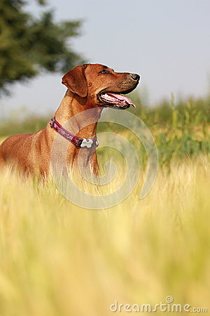 Free Dog In The Rye Field Stock Photo - 26080360