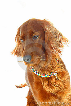 Dog Irish Setter