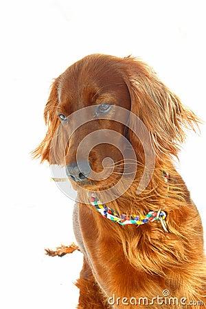 Dog Irish Setter