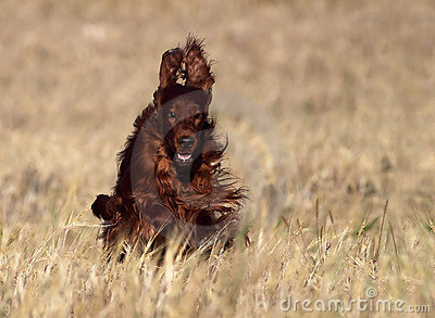 Dog Irish Setter running