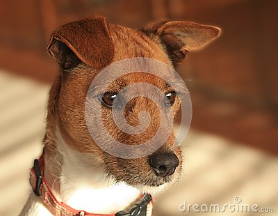 Dog, Jack Russell/Fox Terrier cross