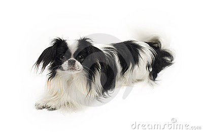 Dog japanese chin