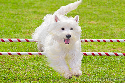 Dog Jumping in Agility Competition