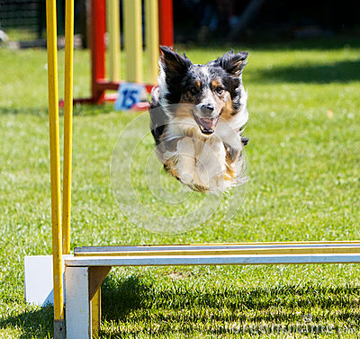 Dog jumping at agility trial
